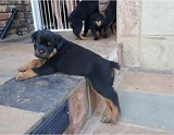 Rottweiler X Puppies For Sale September 2020
